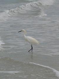 Am egret