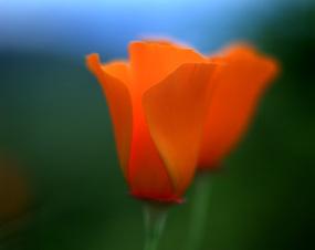Poppies_008_5