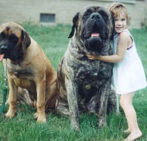 A Good Look at Mastiffs